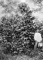 COLLECTIE TROPENMUSEUM Man naast de Liberia-koffie van 1893 94 en Java-koffie van 1895 96 in tuin 'F' van cultuuronderneming Way-Lima in de Lampongse Districten Zuid-Sumatra. TMnr 60013364.jpg