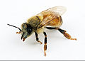 CSIRO ScienceImage 2370 Female Worker Bee.jpg