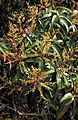 CSIRO ScienceImage 3709 Mango tree flowers Cardwell QLD.jpg