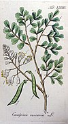 Caesalpinia vesicaria Ypey79
