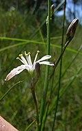 Caesia parviflora flower7 (8408551769).jpg