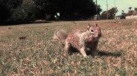 File:California ground squirrels (Otospermophilus beecheyi).webm