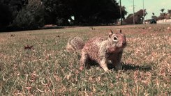 Податотека:California ground squirrels (Otospermophilus beecheyi).webm