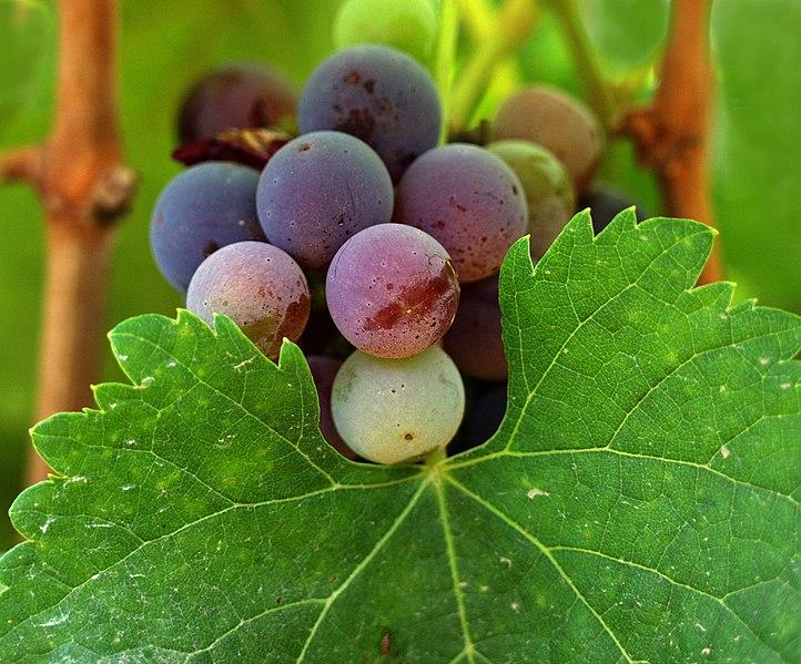 File:California wine grapes.jpg
