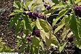 Callicarpa americana 10zz.jpg