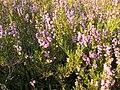 Calluna vulgaris 002.jpg