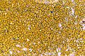 Caloplaca citrina-2.jpg