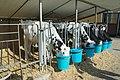 Calves feeding (Bos Taurus, Italian Frisona).jpg