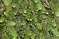 Calypogeia muelleriana (b, 144823-474711) 6129.JPG