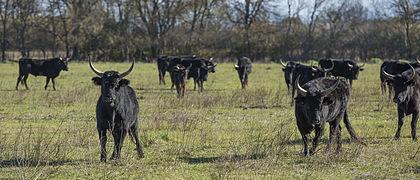 Camargue cattle, Saint-Gilles 04.jpg