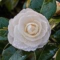 Camellia × williamsii 'Jury's Yellow'. 31-03-2020 (d.j.b.) 03.jpg