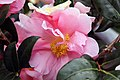 Camellia japonica Pink Icicle 0zz.jpg