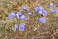 Campanula rotundifolia - img 14387.jpg