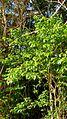 Campomanesia aromatica (Aubl.) Griseb. - Flickr - Alex Popovkin, Bahia, Brazil (12).jpg
