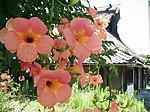 Campsis grandiflora 0905.jpg
