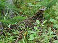 Canachites canadensis 000.jpg