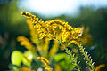 Canada goldenrod (25711051026).jpg