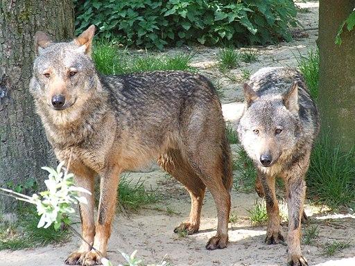Canis lupus signatus (Kerkrade Zoo) 21