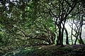 Canopy of garden trees at Goodnestone Park Kent England.jpg
