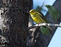 Cape May Warbler (37443185590).jpg