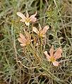 Cape Tulip (Moraea bulbillifera anomala) (32732824821).jpg