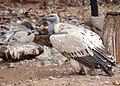 Cape vulture at De Wildt Cheetah Research Centre (South Africa).jpg