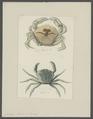 Carcinus moenas - - Print - Iconographia Zoologica - Special Collections University of Amsterdam - UBAINV0274 095 02 0003.tif