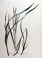 Carex leptostachys — Flora Batava — Volume v8.jpg