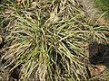 Carex ornithopoda.jpg