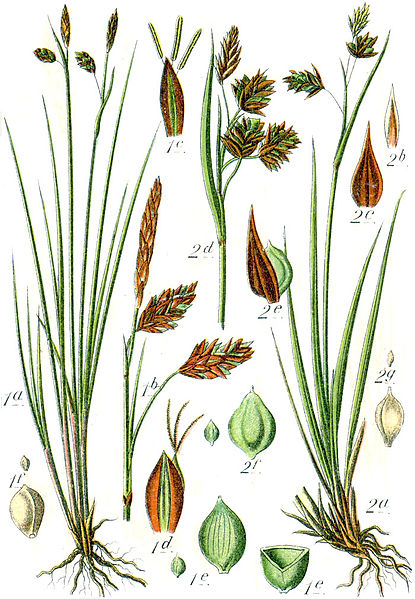 https://upload.wikimedia.org/wikipedia/commons/thumb/f/fd/Carex_spp_Sturm42.jpg/415px-Carex_spp_Sturm42.jpg