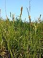 Carex tomentosa sl6.jpg