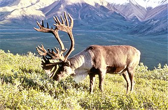 Wildlife of Alaska - Caribou on the Alaska tundra.