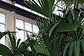 Carludovica palmata 10zz.jpg