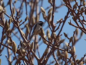 Carolina chickadee - Carolina chickadee on a branch