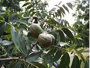 Carya illinoinensis foliage and nuts