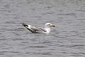 Caspian Gull (Larus cachinnans) (8079427723).jpg