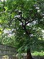 Cassia roxburghii (1093979489).jpg