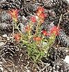 Castilleja applegatei ssp martinii 1
