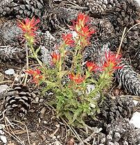 Castilleja applegatei ssp martinii 1.jpg