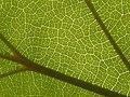 Catalpa sp, leaf veins 04.jpg
