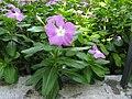 Catharanthus roseus, Osaka Prefectural Flower Garden, Osaka, Japan - 20100904-02.jpg