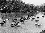 Cattle crossing the Tuross River, 1890-1900 (4903861566).jpg