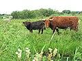 Cattle in Church Marsh Nature Reserve - geograph.org.uk - 1420083.jpg