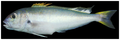 Caulolatilus cyanops - pone.0010676.g075.png