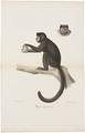 Cebus fatuellus - 1818-1842 - Print - Iconographia Zoologica - Special Collections University of Amsterdam - UBA01 IZ20200077.tif