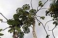 Cecropia obtusifolia 17zz.jpg