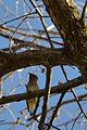 Cedar Waxwing (Bombycilla cedrorum) - London, Ontario 01.jpg