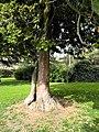 Cedrus libani - Riesbach-Seefeldquai 2012-04-18 16-47-58 -CP-.jpg