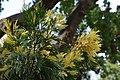Cercidiphyllum japonicum au Plateau des poètes001.JPG