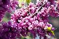 Cercis chinensis Avondale 9zz.jpg